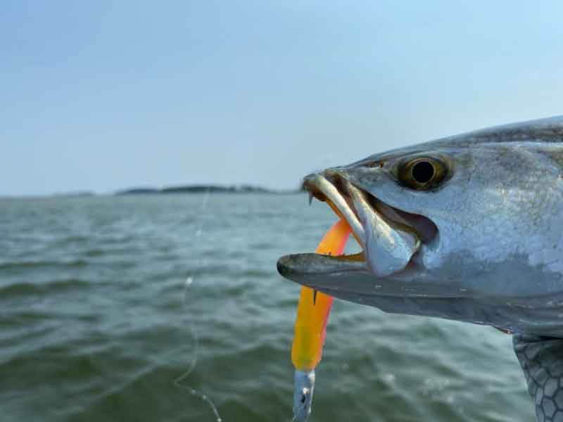 speckled trout lure