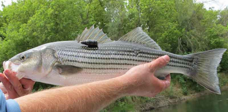striped bass tagged with acoustic telemetry tag