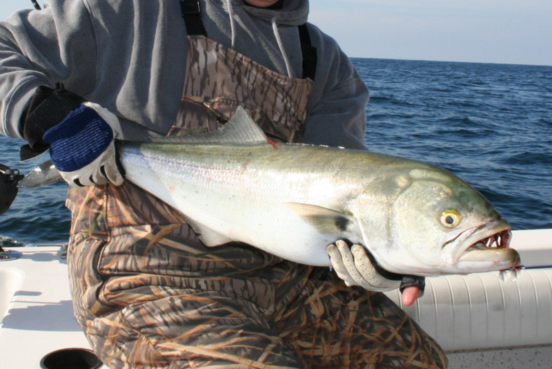 big ocean bluefish