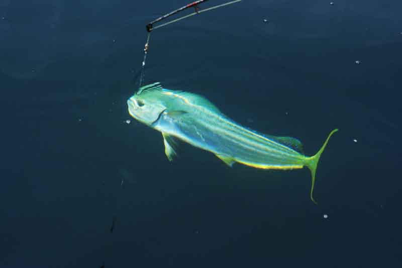 dolphinfish in the water