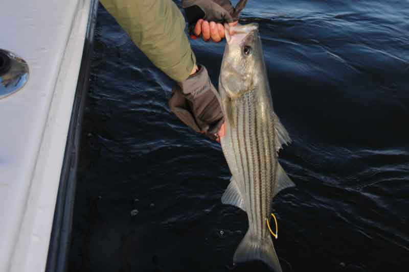 holding a tagged striper